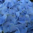 紫陽花 オーシャンブルー
