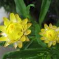 貝殻草 (ヘリクリサム)